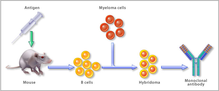 Myeloma Cells Culture